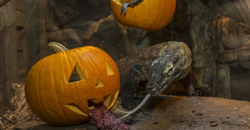 No Tricks, Just Treats for Komodo Dragon at the San Diego Zoo