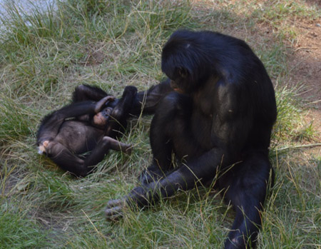Bonobos' social structures and interactions with each other are strikingly similar to humans. They form friendships within their troops, they show empathy, they reconcile, they play, they plan, and they laugh. All of the bonobos will pitch in to take care of the babies, who begin to learn the complex social system through imitation.