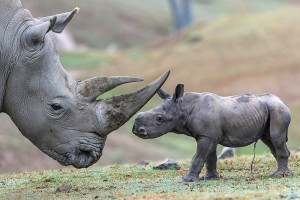 "A three-day-old female southern white rhino calf bravely went horn-to-nub with her ""auntie,"" an adult female rhino named Utamu (pronounced O-ta-moo), earlier today at the San Diego Zoo Safari Park."