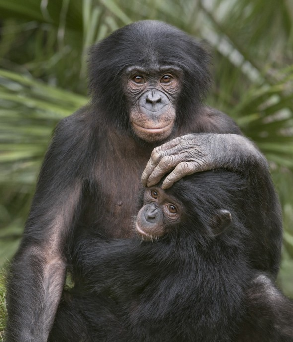 Bonobos use touch to give reassurance and comfort to each other. They form close relationships with other members of the troop, even after they are grown. | 14 Cute Baby Animal Facts