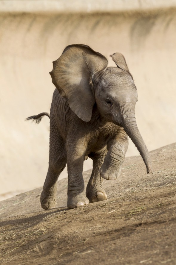 Elephant calves spend their days practicing making all four legs go in the same direction at the same time, perfecting their ear flaring, and mastering trunk control. | 14 Cute Baby Animal Facts