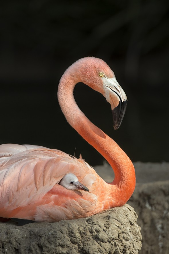 At hatching, a flamingo chick has gray down feathers and is the size of a tennis ball. | 14 Cute Baby Animal Facts