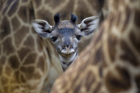 A giraffe calf can stand up and walk within an hour of its birth. | 14 Cute Baby Animal Facts