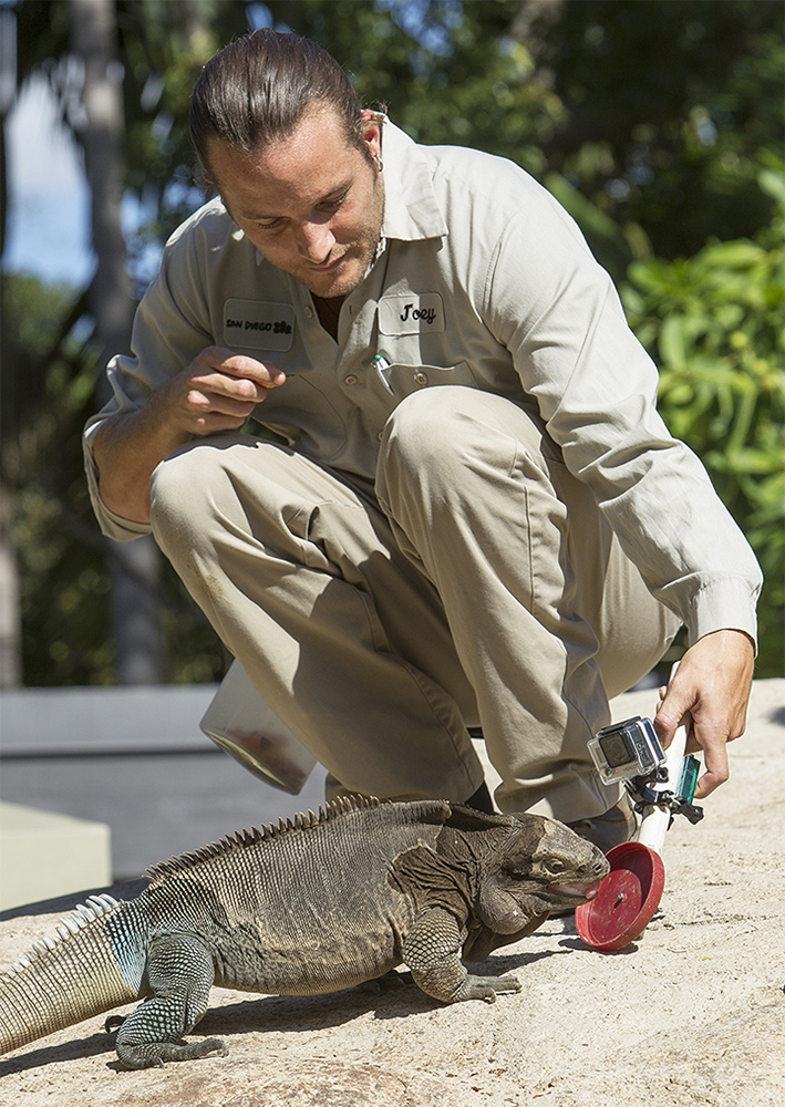 "An Anegada ground iguana named Gus participates in a ""target training"" session with reptile keeper, Joey Brown, at the San Diego Zoo."
