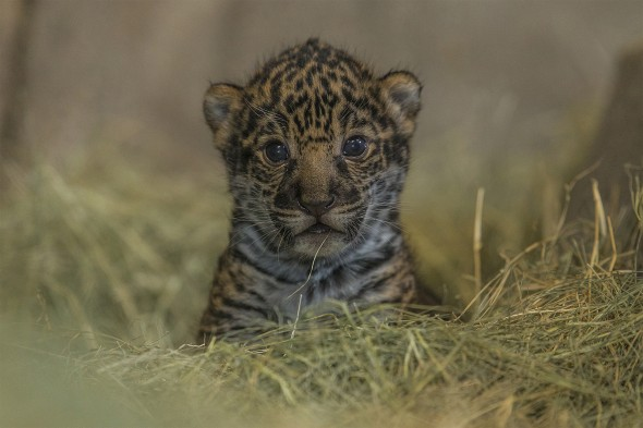 Male jaguar cubs grow more quickly than females and by about two years old are about 50% heavier. | 14 Cute Baby Animal Facts
