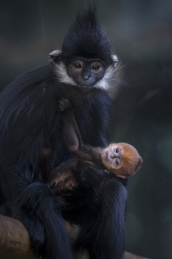 Some monkey species give birth to babies that are a completely different color. For example, langur babies are orange while their parents are black. | 14 Cute Baby Animal Facts