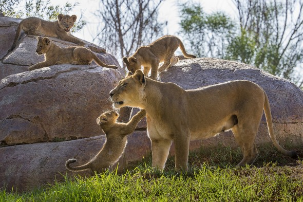 Female lions living in a pride often give birth around the same time, which makes for lots of playmates. | 14 Cute Baby Animal Facts