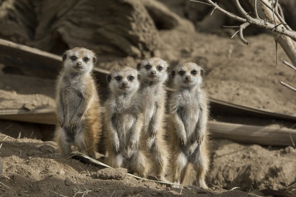 "Meerkats form ""babysitter clubs"" and share the duty of raising pups and teaching them how to hide, hunt, clean, and defend all that is theirs. 