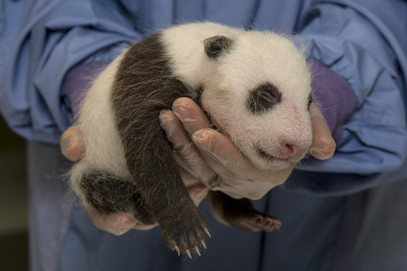Giant pandas are only about the size of a stick of butter at birth, and they're hairless and helpless. | 14 Cute Baby Animal Facts