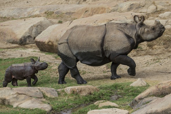 Rhino calves start growing their iconic horns when they reach 4-5 months. | 14 Cute Baby Animal Facts