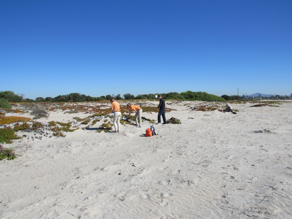 The dunes at the western snowy plover nesting site before invasive plant control measures. The red-hued plant covering the dunes is the invasive ice plant.
