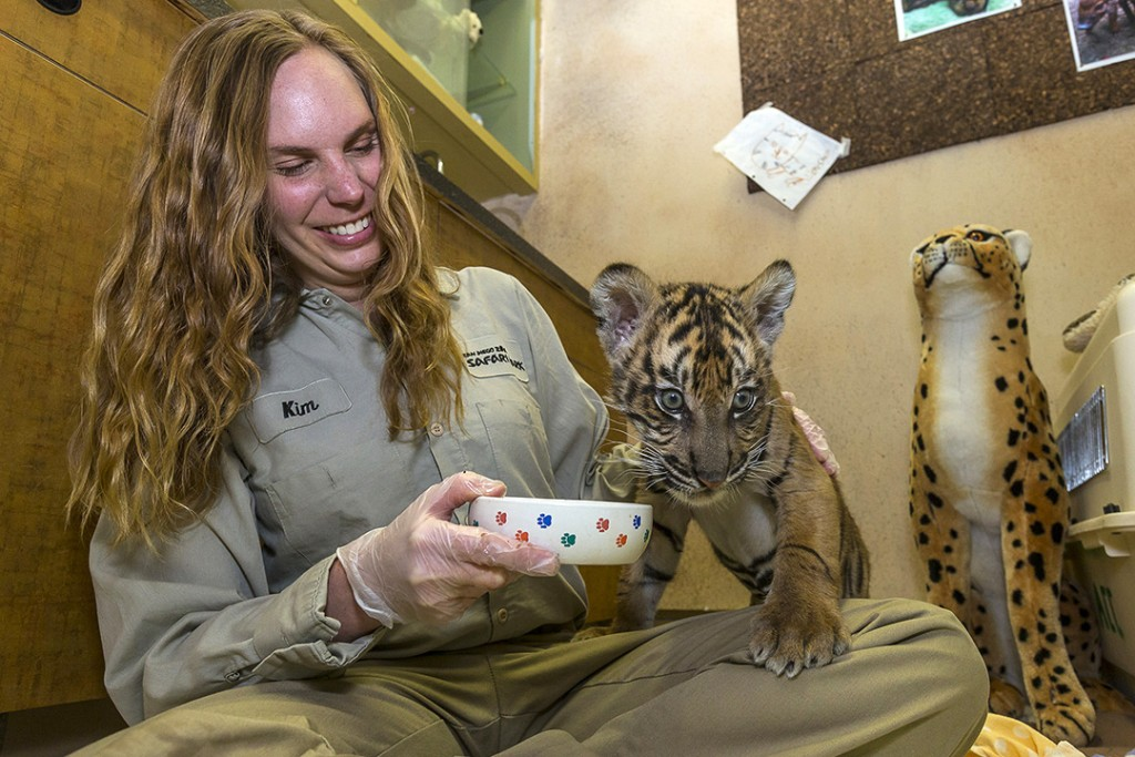 """The male cub, born Sept. 24, had been hand-reared at the Animal Care Center. Keepers say the health of the cub has improved greatly under veterinary care. The cub came under direct care of animal care staff a few days after his birth, when it was determined that he was not receiving proper nourishment from first-time tiger mother, Joanne. The cub has been making steady progress and now weighs 17 pounds. He's active, and he is starting to eat some meat and bone solids. Park guests will have the opportunity to view the cub, starting today, at the Animal Care Center—either in the special care nursery window, or around the corner in the """"pie stall"""" next to Nairobi Station—daily from 9:30 to 11:20 a.m. and again from 3 to 3:45 p.m. The cub, which has not been named, is the 26th endangered Sumatran tiger born at the Safari Park, and he is the first cub to be hand-raised at the Park since 1984. At the care center, he is bottle-fed with a formula made especially for carnivores, seven times a day. The formula is made from goat's milk and is easy for the cub to digest. Animal care staff will begin taking the Sumatran tiger cub on special introductory visits to the Tull Family Tiger Trail habitat, where he is expected to eventually live full-time. The Tiger Trail habitat is home to six other Sumatran Tigers. ### Photo taken Dec. 2, 2015 by Ken Bohn, San Diego Zoo Safari Park."""