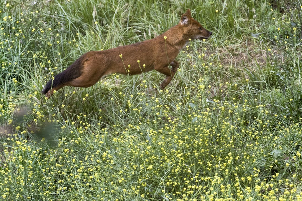 HEADER HERE Asiatic wild dogs, also called dholes, are energetic and highly social animals.