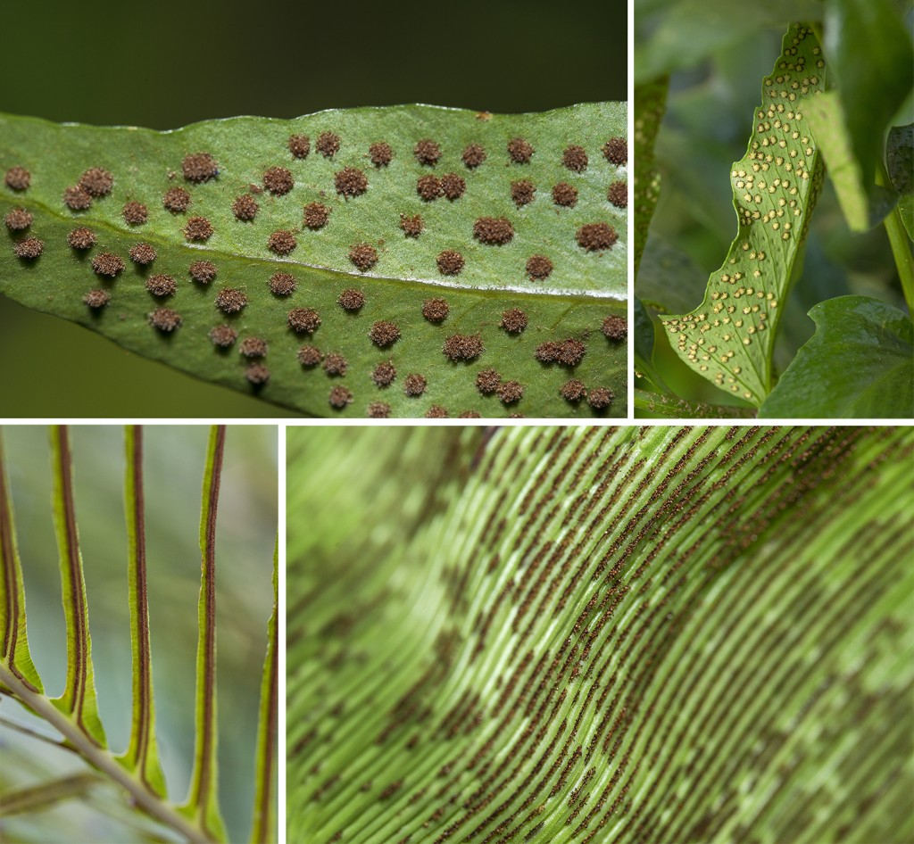 HEADER HERE (Clockwise from top left): Ripe spores of Phelbodium sp.; White indusium surrounded by sporangia cover the underside of a holly fern blade; The broad blades of a bird's nest fern Asplenuim bulbiferum provide plenty of room for agents of reproductive potential; Sporangia of Blechnum sp. are organized in neat, compact rows.