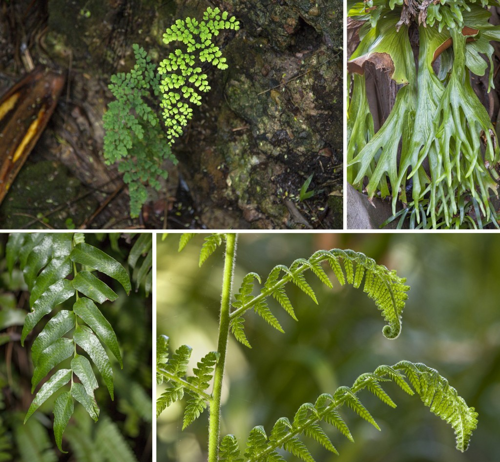 HEADER HERE Clockwise from top left: Maidenhair fern Adiantum raddianum; Staghorn fern Platcerium superbum; beginning as coiled fiddleheads, young blades on a fern frond uncurl and spread to gather sunlight; holly fern Cyrtomium falcatum.