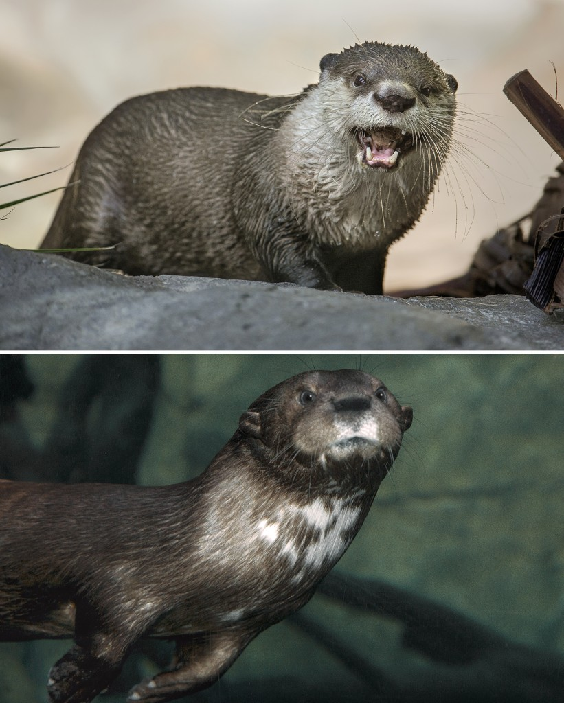 OTTER SPECIES AT THE SAN DIEGO ZOO (TOP) Like other otter species, this Cape clawless otter can remain underwater for up to eight minutes. (BOTTOM) Spotted necked otters are aptly named.