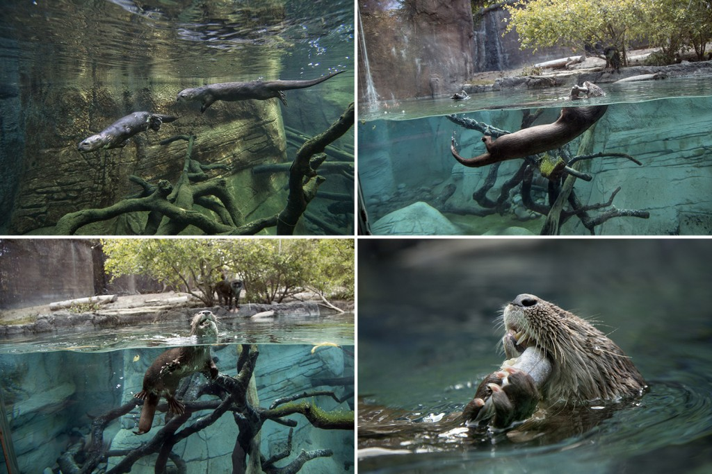 HEADER HERE Clockwise from left: The otters in Ituri Forest at the Zoo are acrobatic swimmers. Look for the bubbles rising to the surface to help spot them; Swimming is a way of life for otters; Otters are able to eat on the move; A delicious snack of fresh smelt is a sure way to an otter's heart!