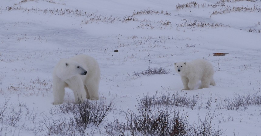 Climate Change Makes Polar Bears Work Harder to Survive by Megan Owen