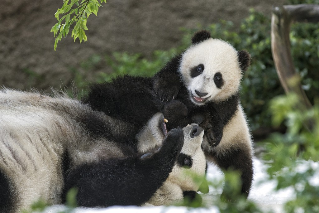 HEADER HERE Bai Yun is an exceptional mother to her cubs. She has taught researchers a great deal about panda reproduction and maternal behavior.