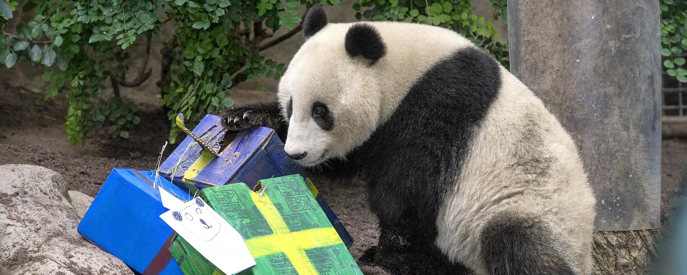 Panda8