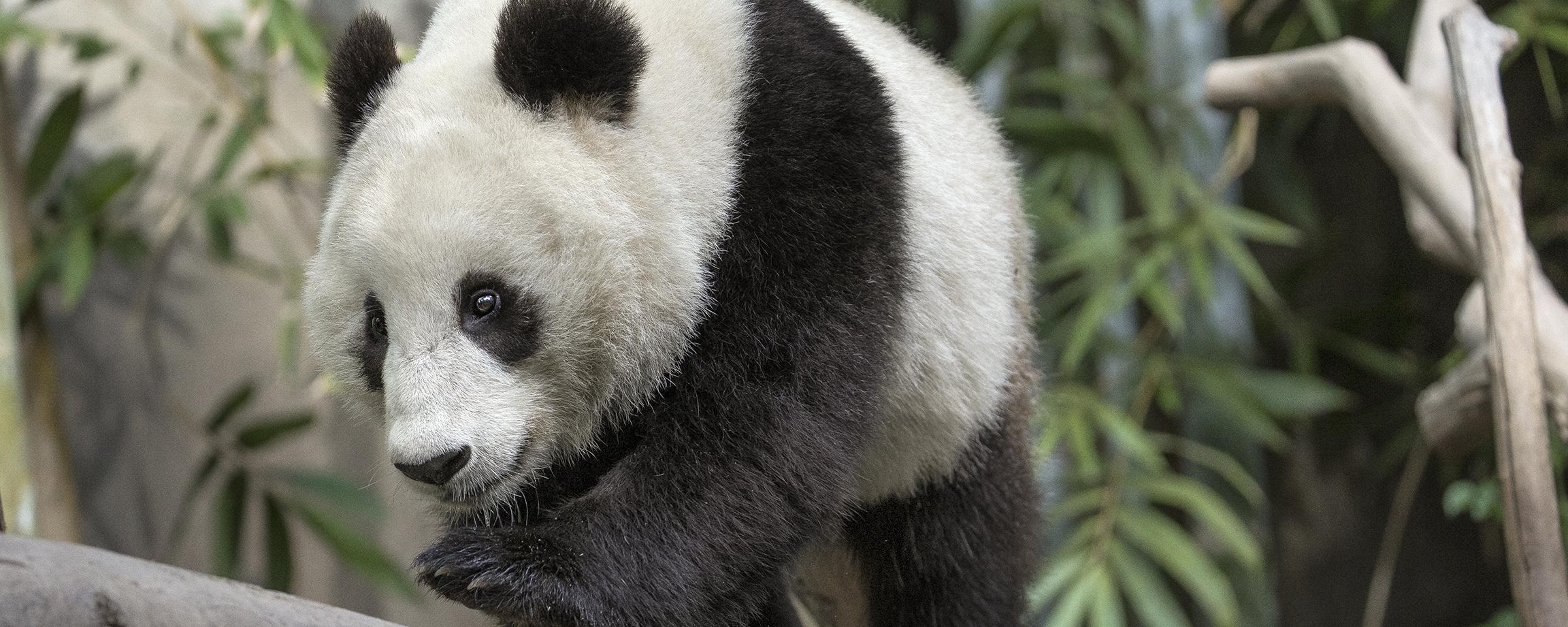 Panda9
