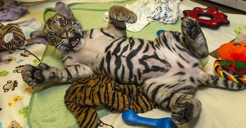 baby tiger cub goes on display at san diego zoo safari park zoonooz