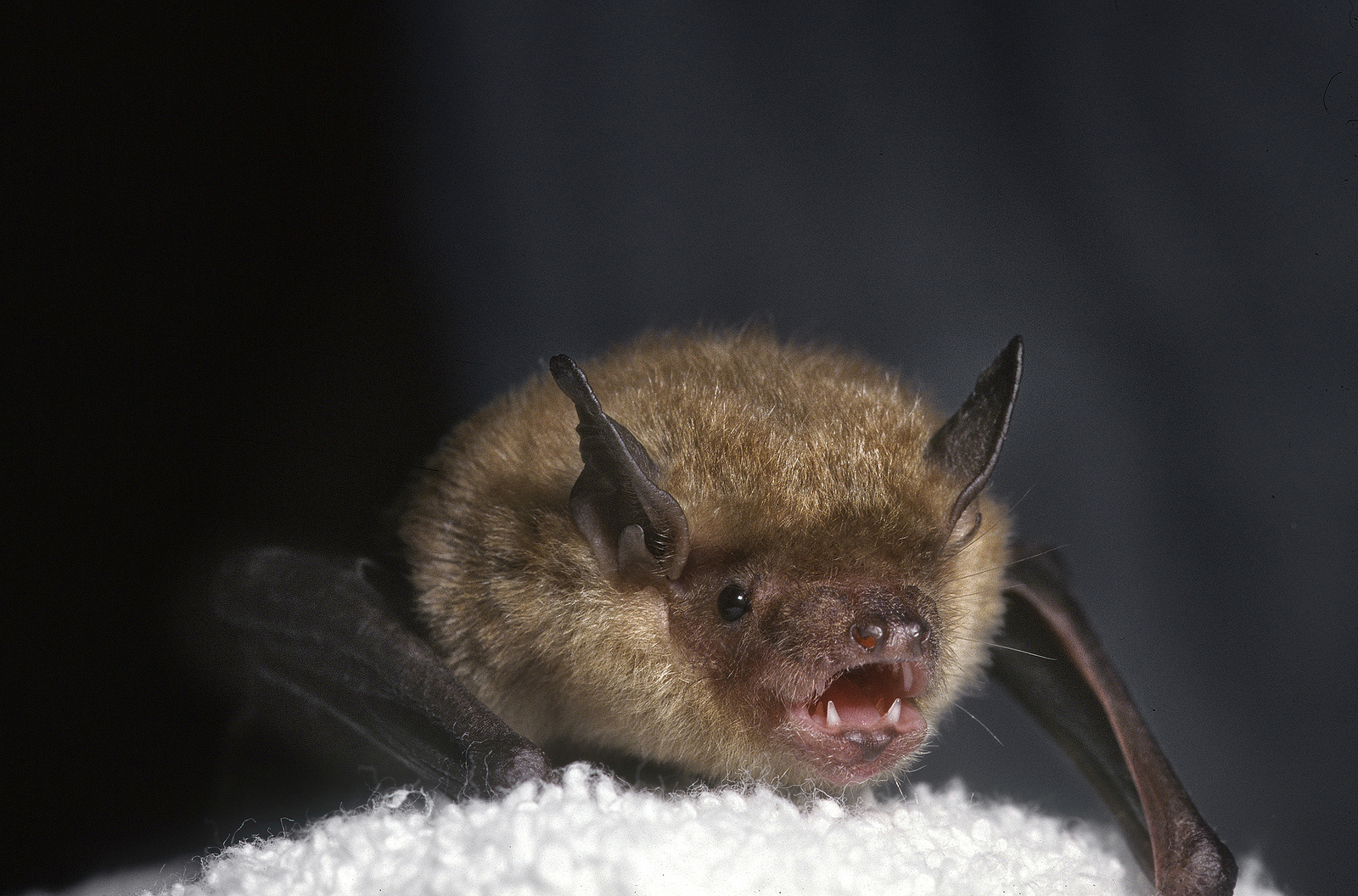 "Bat ears are often five or more times the size of a bat's head. Their unique use of echolocation enables them to ""see"" their world and detect prey, by emitting short bursts of high-pitch sounds that bounce off objects and return to the bat as echoes."