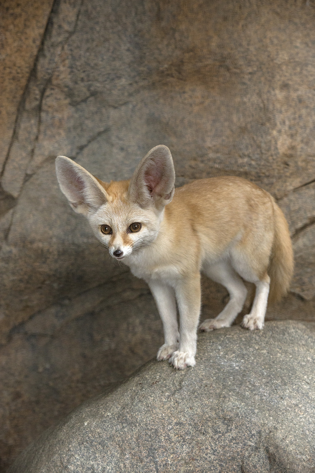 For canids, the fennec fox has the largest ears in relation to its body size. The ears can be half the length of its body, and they do double duty—allowing the fox to hear prey moving around underground, and also helping to dissipate heat under the hot desert sun.