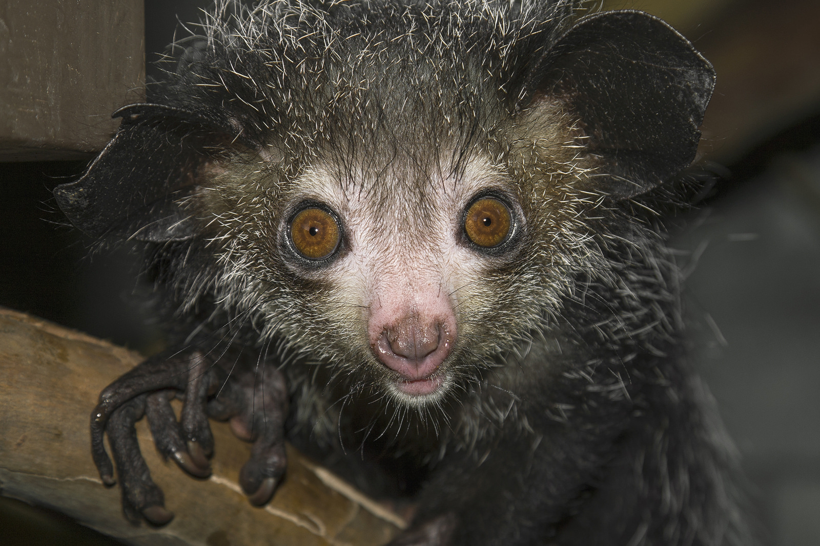 The one of a kind aye-aye uses its large radar-like ears to hear grubs moving under the bark of a tree, and then it taps its specialized middle finger along the tree until it locates the right spot to pry open.