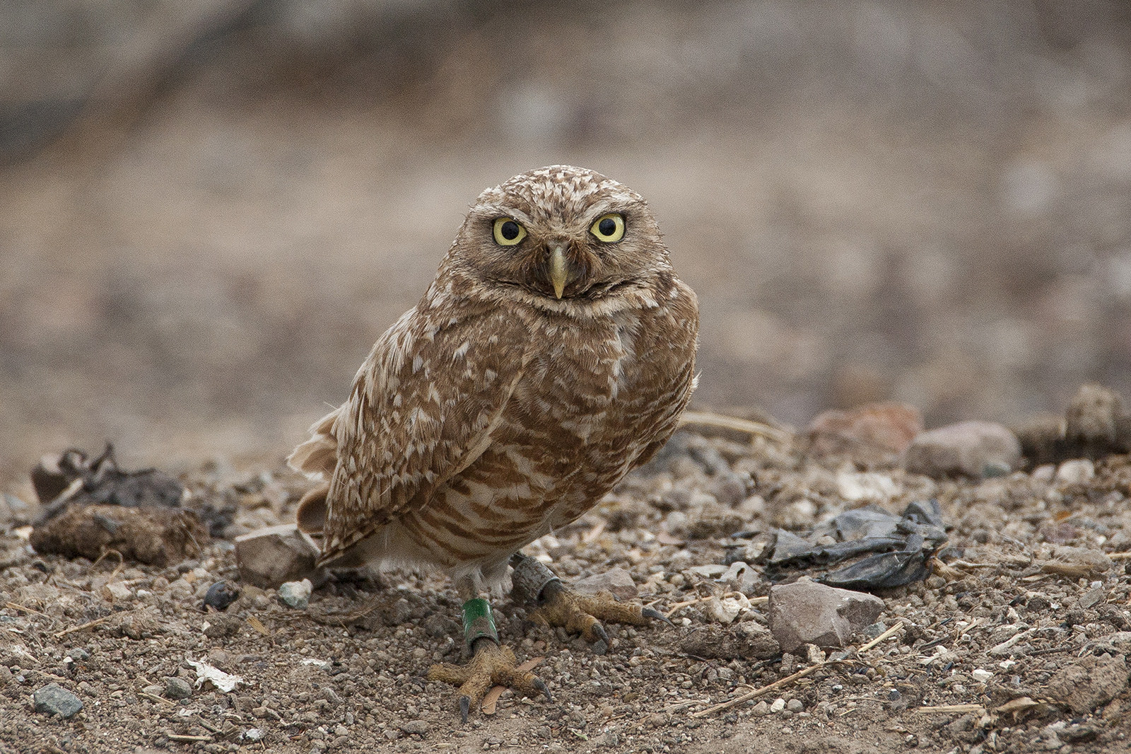Owls have an incredibly acute sense of hearing. Two large holes in its skull, coupled with a facial disc that channels sound into the ear openings, enable an owl to hear a mouse stepping on a twig from 75 feet away.