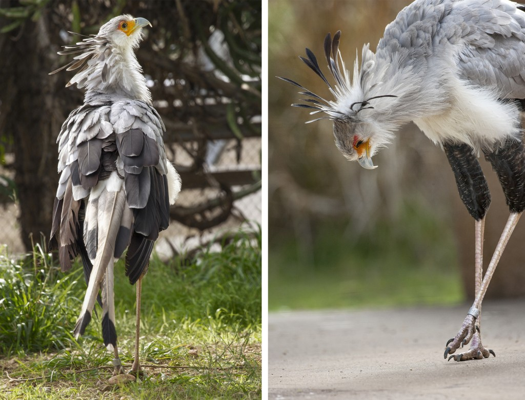 HEADER HERE Whenit comes to scouting the scene, long limbs give the secretary bird a leg up in spotting potential meals in the grasslands. Large, long-clawed feet help it snatch prey—and stomp it into submission.