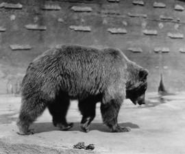 Centennial Throwback: A Bear Named Caesar