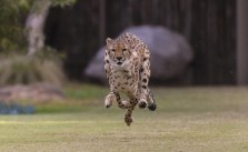 Meet Ruuxa, the Newest Star of Shiley's Cheetah Run