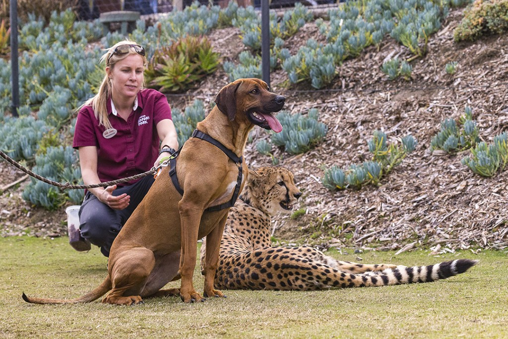Raina, a female Rhodesian ridgeback; and Ruuxa, a male cheetah; relax under the watchful eye of their trainer, Shannon Smith, after participating in Shiley's Cheetah Run at the San Diego Zoo Safari Park.