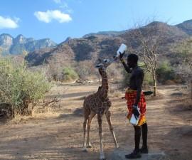 Giraffe orphan