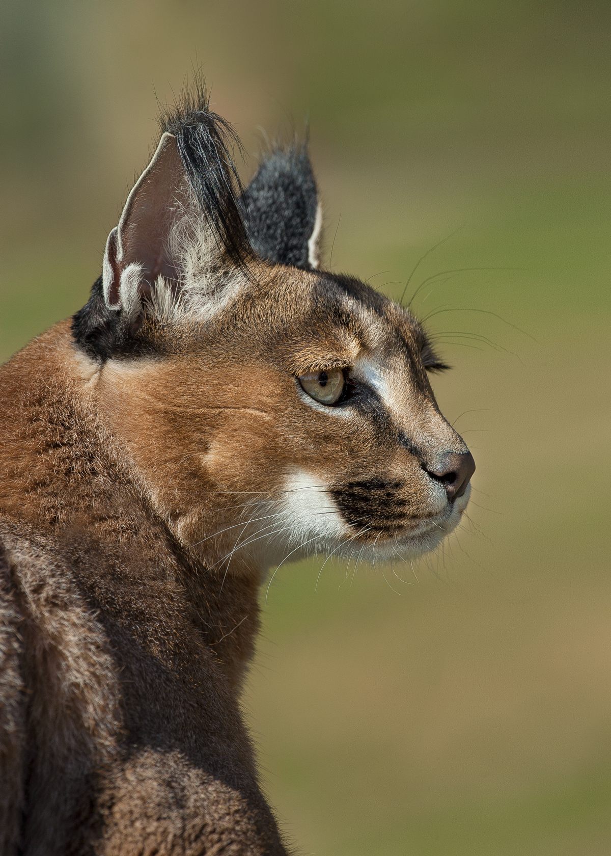 The most noticeable feature of a caracal is its black ear tufts, or tassels. Although many theories speculate their function, the most widely accepted theory is that the cat twitches its tufts to communicate with other caracals.