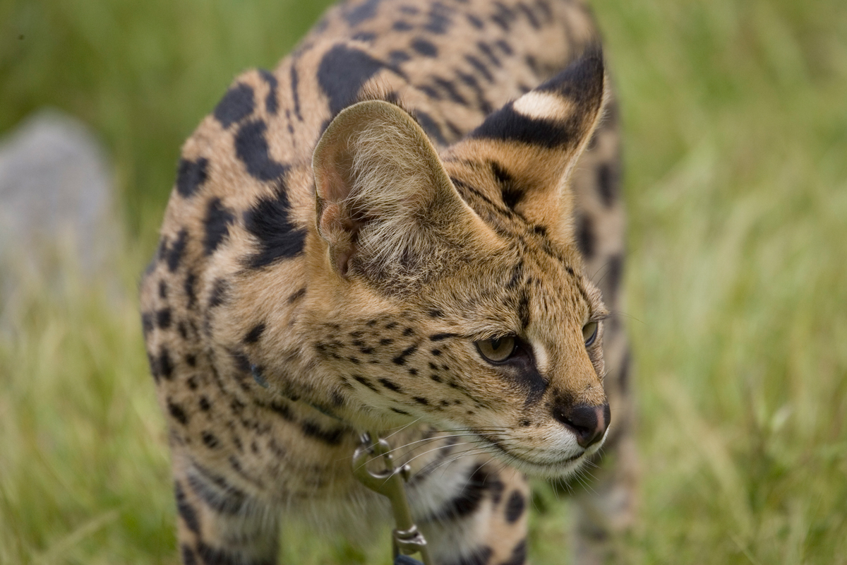 Servals have the longest legs and largest ears for their body size of any cat. Ultrasonic hearing ability allows the serval to hear the high-pitched communications of rodents, and because of this, servals are quick and efficient hunters.