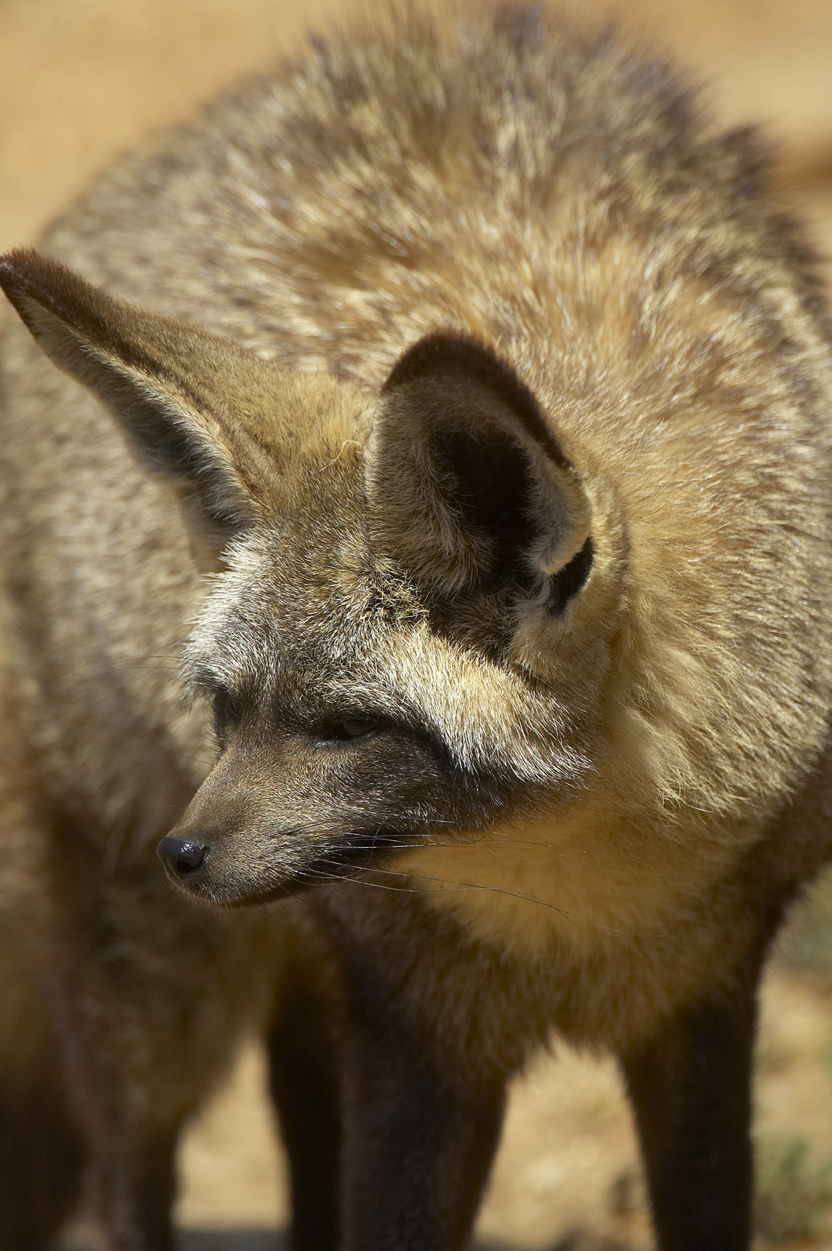 The bat-eared fox is also known for its colossal ears, which are over five inches tall. Like its fennec counterpart, the ears on a bat-eared fox are full of blood vessels that shed heat and keep the animal cool. Those big ears also give them an excellent sense of hearing.