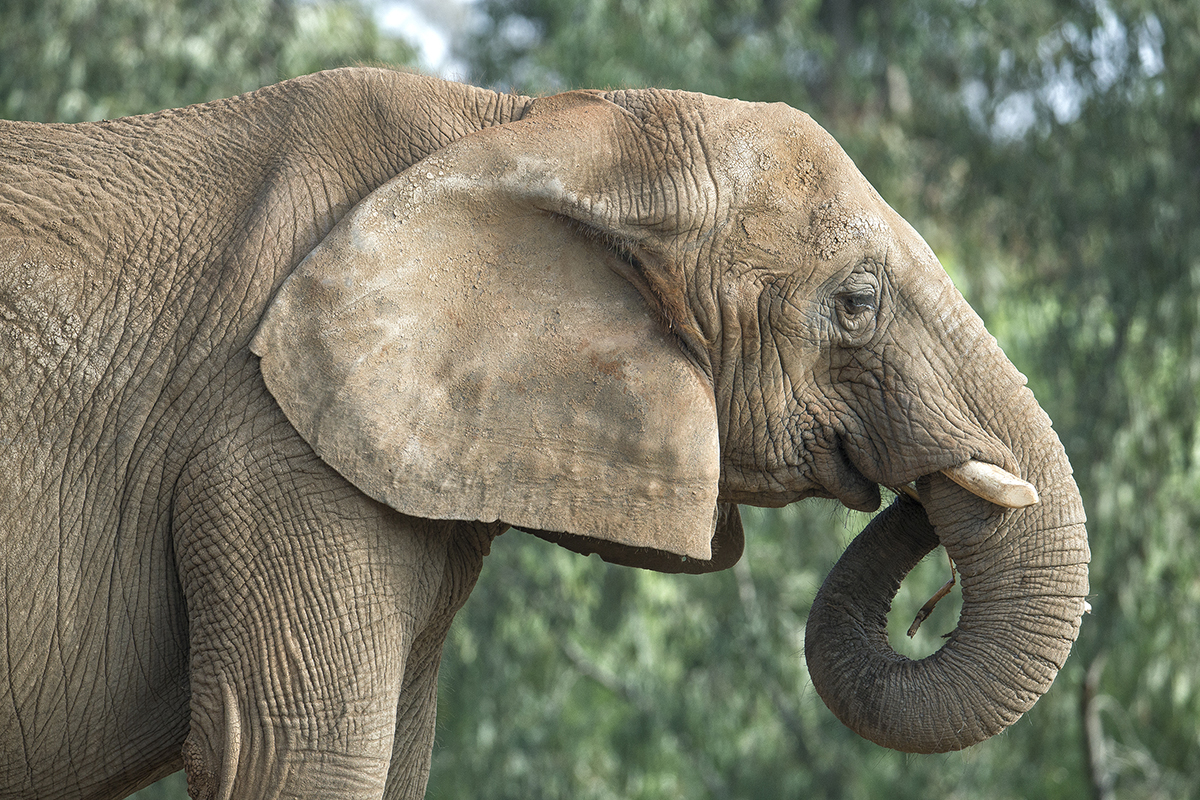 Elephants emit low, resounding calls that can be heard by others up to five miles away. But elephant ears also act like air conditioners—as they flap, the blood flowing through the numerous blood vessels cools the elephant's large body on warm days.