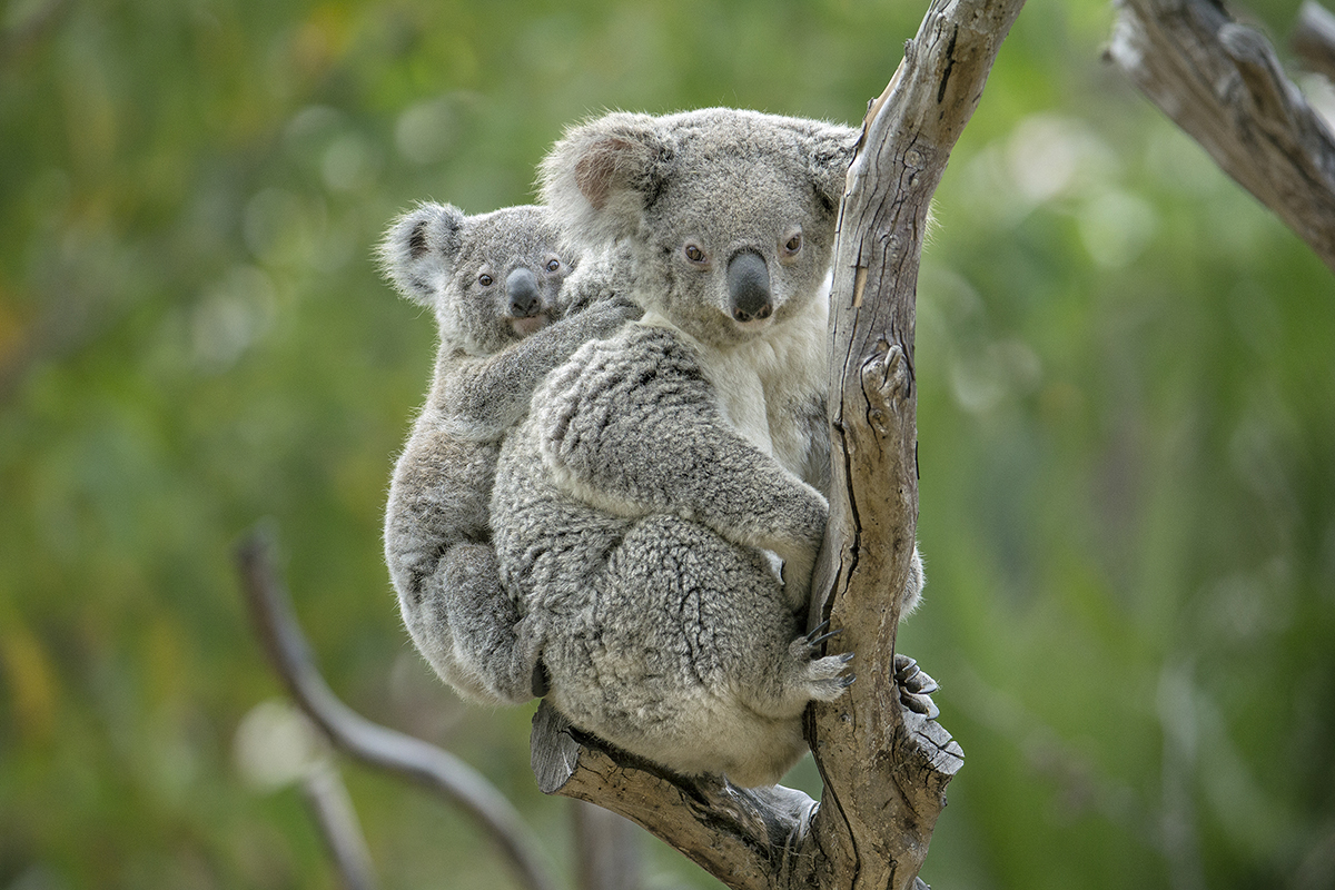 My, What Big Ears You Have! Besides their gumdrop nose and teddy bear body shape, koalas have highly sensitive ears that help these marsupials detect low-pitched bellows of other koalas.