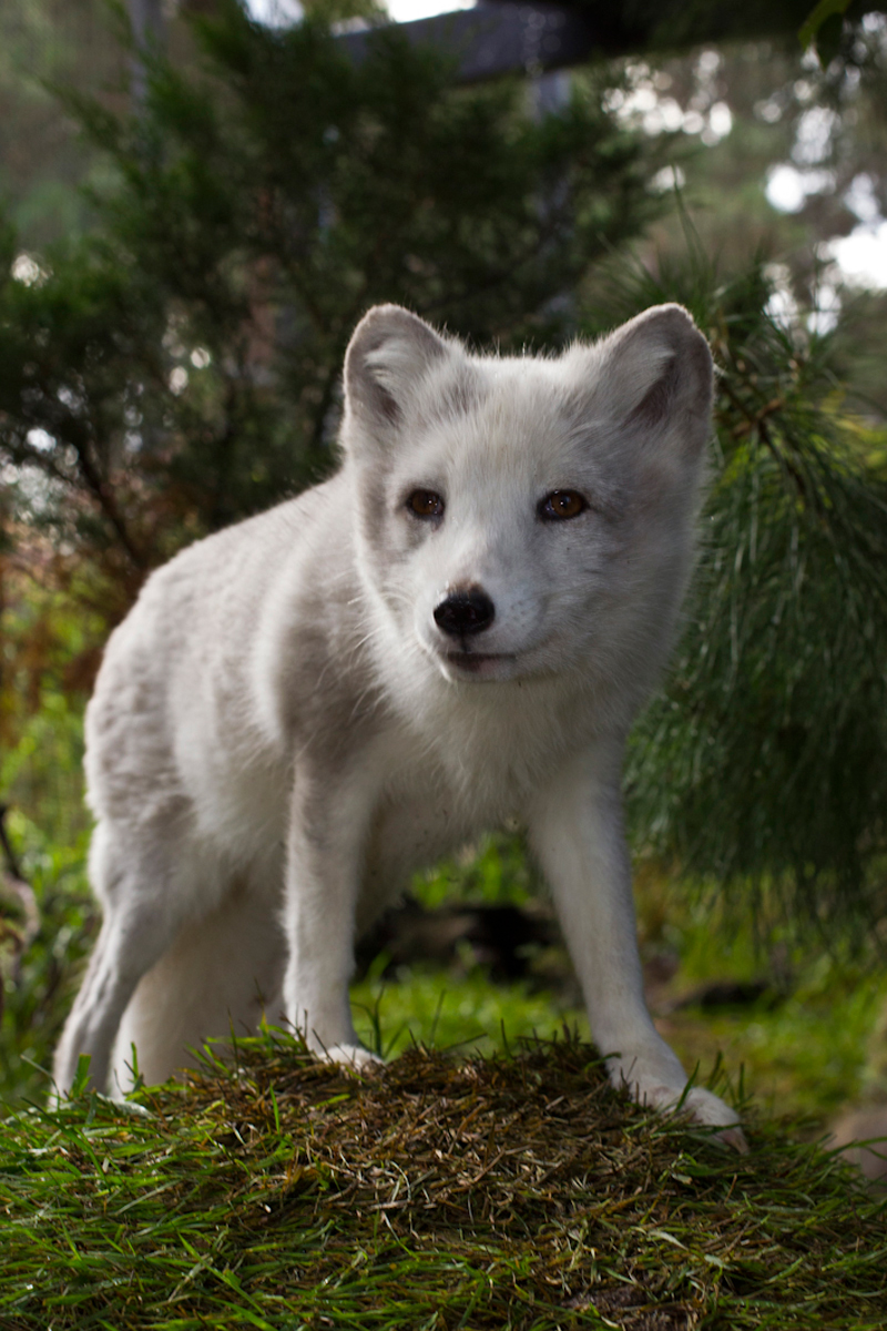Arctic foxes know how to dress for the season, as their coat changes color from white in the winter to gray in the summer. This adaptation helps them stay camouflaged in their tundra habitat. | 10 Fashionistas of the Animal Kingdom