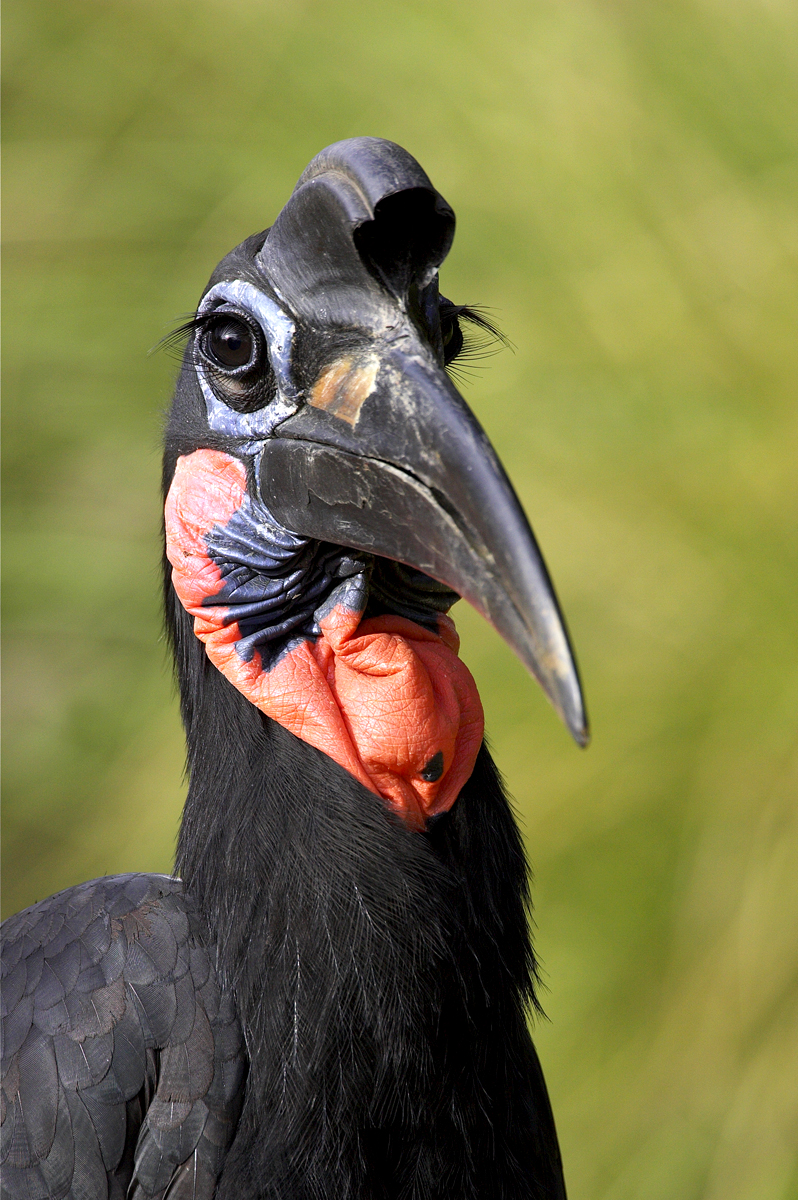 Forget false lashes! A ground hornbill's eyes are naturally framed with modified feathers that produce this dramatic eye-enhancing look. | 10 Fashionistas of the Animal Kingdom
