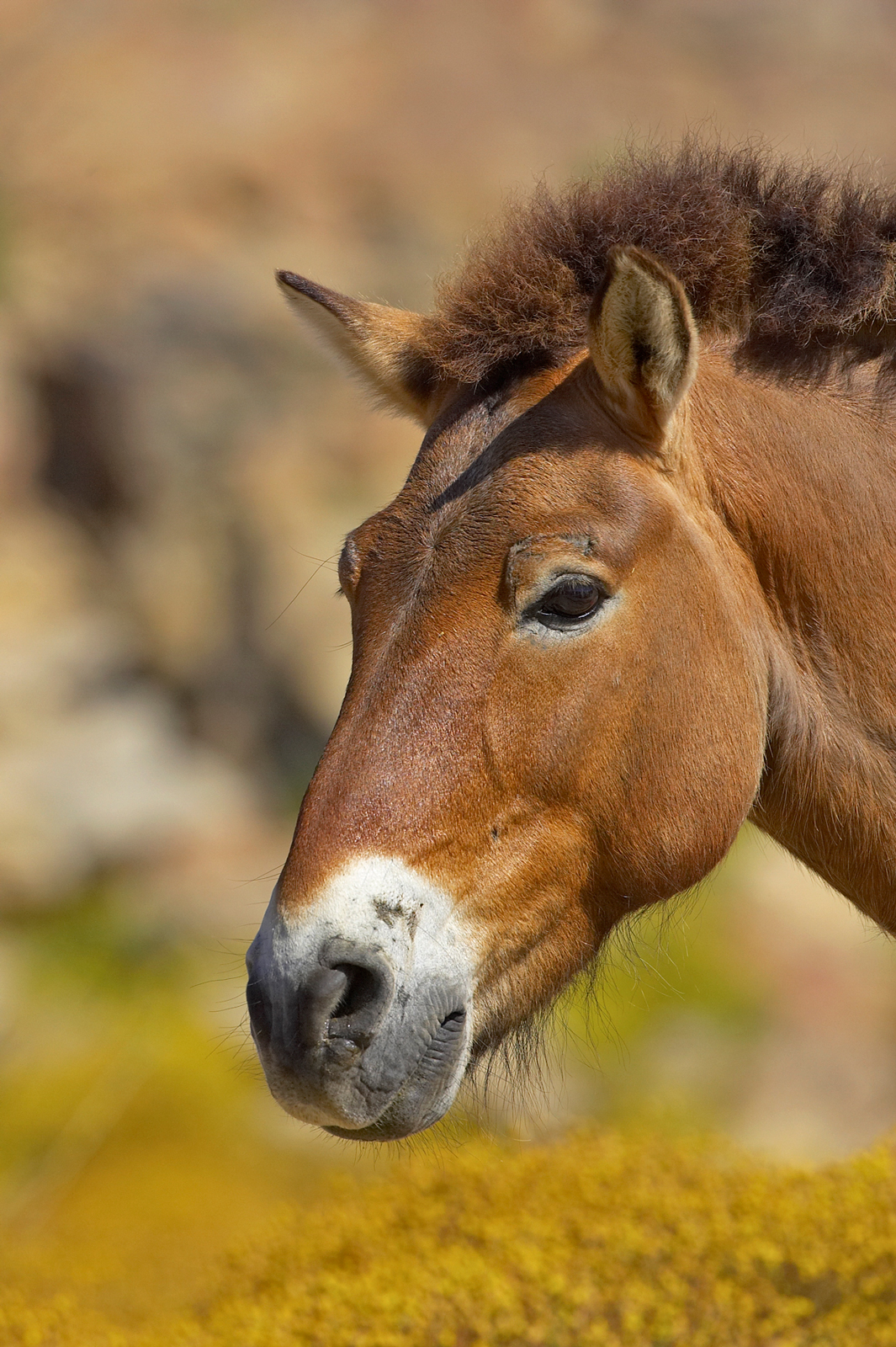 With punk rock style, Przewalski's horses grow thick, warm coats for the winter, complete with long beards and neck hair. These Mongolian wild horses rock the mohawk without the teenage angst.