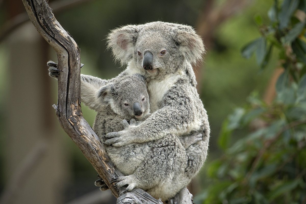 What's in my bag? Koalas (and all marsupials, for that matter) are the only animals that can answer with an adorable baby animal. When it comes to accessories, what more does one need? | 10 Fashionistas of the Animal Kingdom