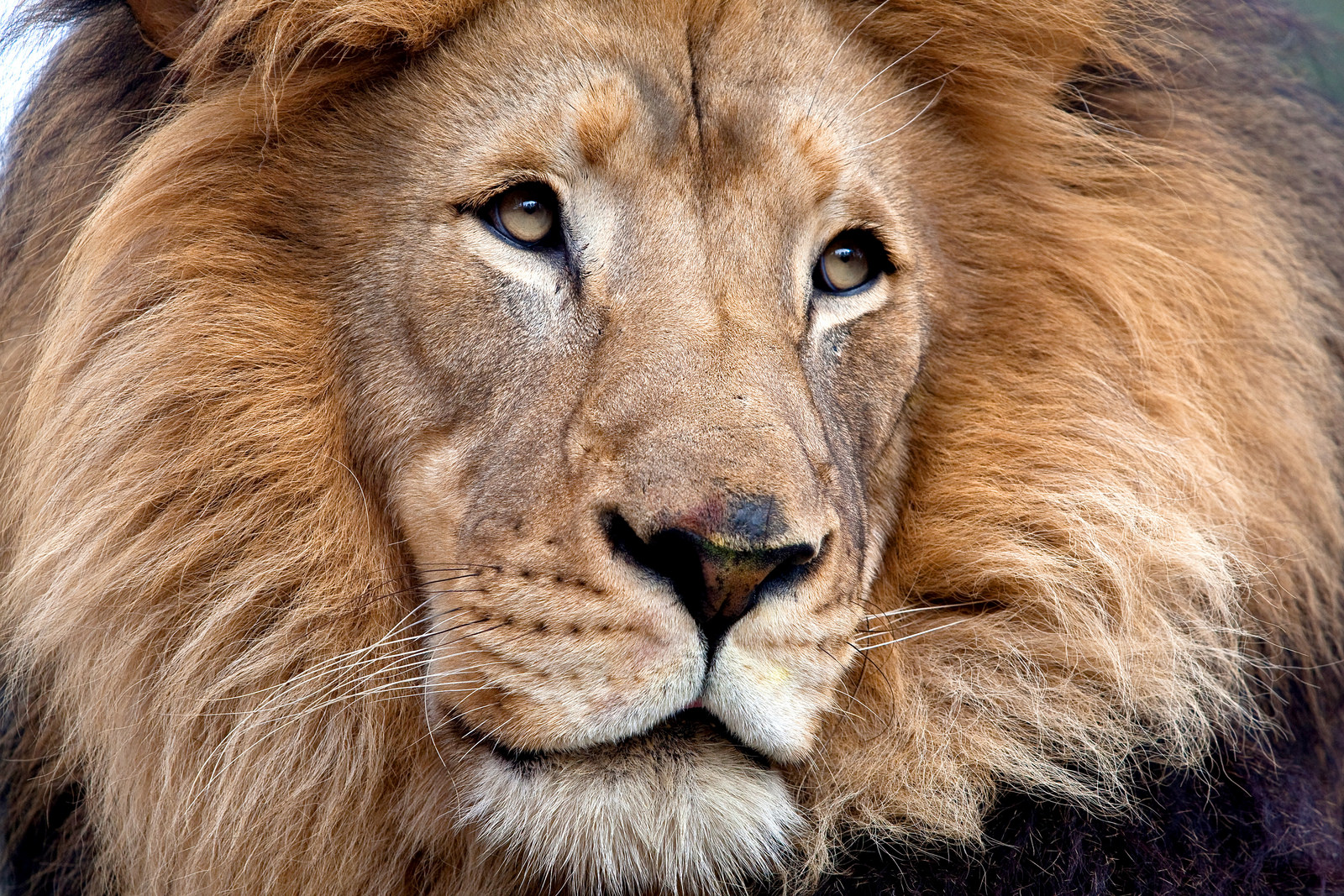 Male lions never fail to attract attention with their thick manes—always warm, always protected, no scarf needed. | 10 Fashionistas of the Animal Kingdom
