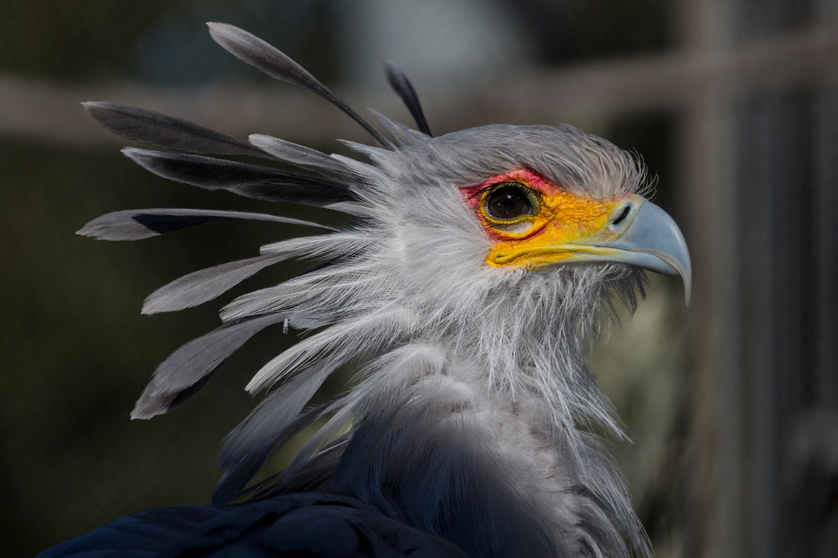 The secretary bird pioneered the bright eye shadow look. In fact, these slim, tall birds are among the few species that can appropriately rock vivid lids. | 10 Fashionistas of the Animal Kingdom