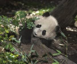 mei sheng as cub