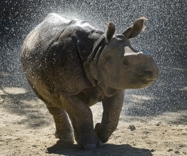 Warm Weather Provides Perfect Playtime for Greater One-Horned Rhino Calf at San Diego Zoo Safari Park  Chutti, a 15-month-old greater one-horned rhino calf at the San Diego Zoo Safari Park, enjoyed one of his favorite playtime activities—frolicking in a spray of water.   The young rhino, which was hand-raised from two weeks of age in the Safari Park's Ione and Paul Harter Animal Care Center and currently resides in a field boma, is being weaned from his bottle feedings, with plans to introduce him to other rhinos at the Safari Park in the very near future. Keepers report the playful rhino calf has always enjoyed water, regardless of the outdoor temperature—and with today's unseasonably warm weather in San Diego, playtime served to cool down the little rhino, all while having fun.  Photo taken on Feb. 16, 2016 by Ken Bohn, San Diego Zoo Safari Park. ### PERMITTED USE: Images are provided to the media solely for reproduction, public display, and distribution in a professional journalistic context in connection with newspaper, magazine, broadcast media (radio, television) or Internet media (ad enabled blog, webcasts, webinars, podcasts). Images may not be made available for public or commercial download, licensing or sale.  REQUIRED CREDIT AND CAPTION: All image uses must bear the copyright notice and be properly credited to the relevant photographer, as shown in this metadata, and must be accompanied by a caption that makes reference to the greater one-horned rhino. Any uses in which the image appears without proper copyright notice, photographer credit and a caption referencing the San Diego Zoo are subject to paid licensing.
