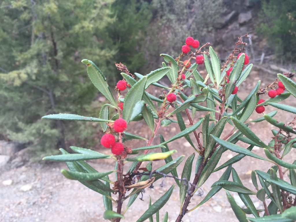 Comarostaphylis diversifolia ssp. diversifolia is known as Summer Holly because of its bright red berries which are ripe in the mid to late summer months.