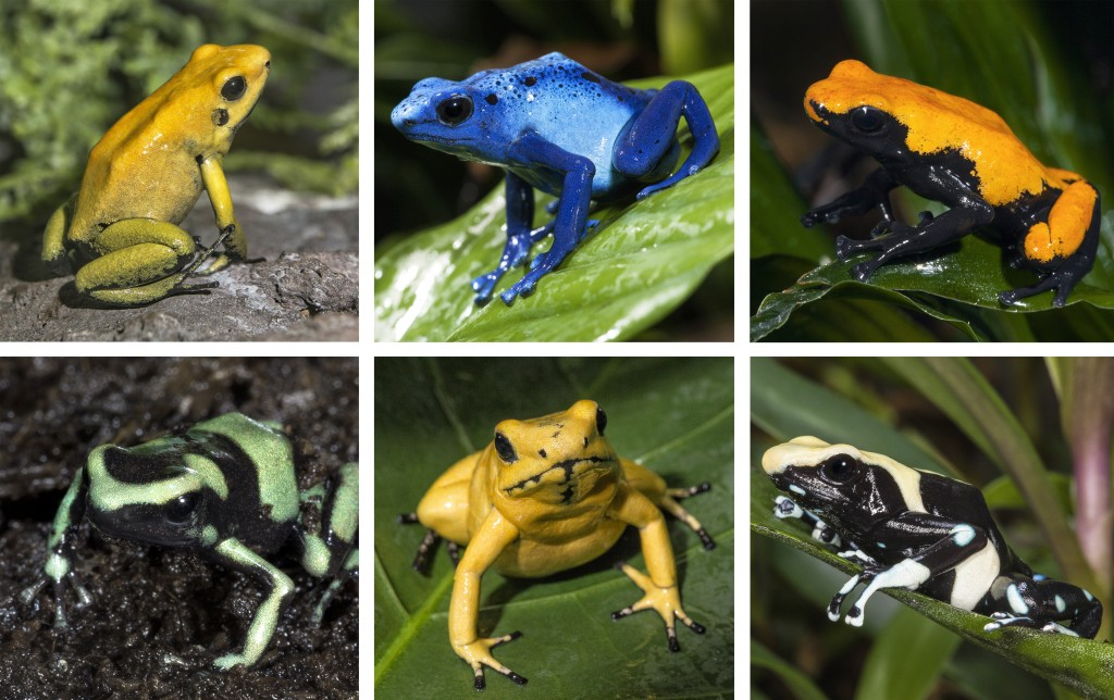 JEWELS OF THE FOREST Clockwise from top left: Black-legged poison frog; Blue poison frog; Splash-back poison frog; Second row: Green and black poison frog; Golden poison frog; Dyeing poison frog.